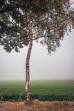 De berkboom met bladeren bevindt zich op de rand van weide op een fogg royalty-vrije stock foto's