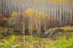 De berkbos van de herfst stock fotografie