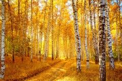 De berkbos van de herfst Stock Afbeelding