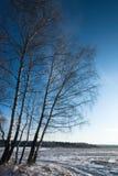 De Berken van de sneeuw Stock Afbeeldingen