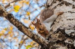 De berkgrijs van het eekhoornportret Stock Afbeelding