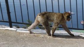 De beroemde Apen van Gibraltar stock video