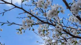 De beroemde die bloem in Japan, Cherry Blossoms, ook als Sakura wordt bekend Stock Afbeelding