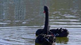 De beroemde Zwarte Zwanen bij het Kasteel van Leeds in het Verenigd Koninkrijk - Kent, het Verenigd Koninkrijk - Februari 20, 201 stock video