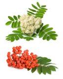 De bes en de bloemen van de lijsterbes Stock Foto