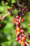De bes van de koffie Royalty-vrije Stock Afbeelding