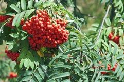 De bes van de lijsterbesboom Royalty-vrije Stock Afbeeldingen