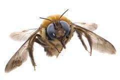De bescheiden bij van het insect stock afbeeldingen
