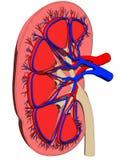 De besnoeiing van de nier royalty-vrije illustratie