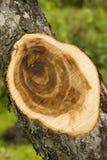 De besnoeiingsboom van de zaag Royalty-vrije Stock Fotografie