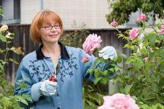 De besnoeiingsrozen van vrouwen in tuin Stock Foto's