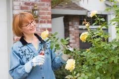 De besnoeiingsrozen van vrouwen in tuin Stock Afbeeldingen