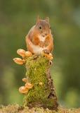 De bespreking van de eekhoornsslak Stock Fotografie