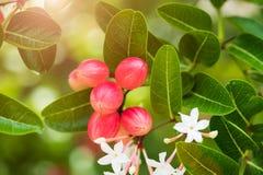 De Bessen van Bengalen of Carandas, Karanda-pruim De Bes van Bengalen is het rode fruit van Thailand Kruidfruit en hoge vitamine royalty-vrije stock foto's