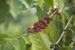 De bessen van de koffie het groeien royalty-vrije stock afbeeldingen