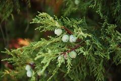 De bessen van de pijnboom op de tak Royalty-vrije Stock Fotografie
