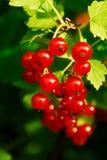 De bessen van de rode aalbes (rubrum Ribes) Royalty-vrije Stock Afbeeldingen