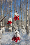 De bessen van de winter Royalty-vrije Stock Afbeeldingen