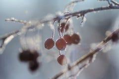 De bessen van de winter Stock Afbeeldingen