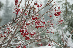 De Bessen van de winter Stock Foto
