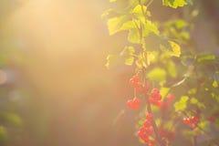 De bessen van een rode aalbes Stock Foto's