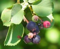 De Bessen van Saskatoon of van Amelanchier Alnifolia Royalty-vrije Stock Fotografie