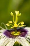 De Bestuiving van de bloem stock afbeelding