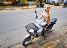 De bestuurder van de hond stock afbeeldingen