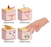De betekenissen van de huid. Stock Afbeelding