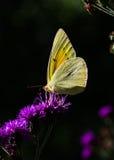 De betrokken vlinder van de Zwavel Stock Foto's
