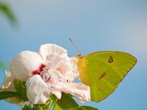 De betrokken vlinder van de Zwavel op Althea Royalty-vrije Stock Foto