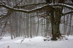 De beuk van de sneeuw en van de mist Stock Afbeelding