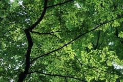 De beukbladeren van de zon glanzende trog Stock Afbeeldingen