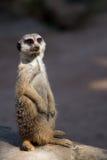 De bevindende wacht van Meerkat Royalty-vrije Stock Foto