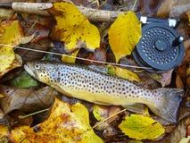 De bevlekte Bruine Forel van de Herfst stock foto