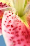 De bevlekte close-up van de Bloemblaadjes van de Lelie royalty-vrije stock afbeelding