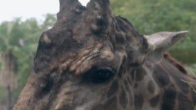 De bevlekte giraf met grappige hoornen eet kleine groene bladeren stock footage