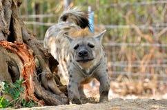 De bevlekte hyena Stock Foto's