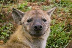 De bevlekte hyena (Crocuta-crocuta) Stock Afbeeldingen