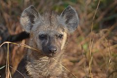 De bevlekte hyena (Crocuta-crocuta) Stock Foto