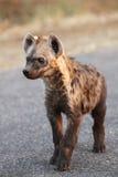 De bevlekte hyena & x28; Crocuta crocuta& x29; jonge hyena Stock Foto