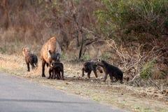 De bevlekte hyena & x28; Crocuta crocuta& x29; jonge hyena Stock Afbeeldingen