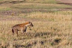 De bevlekte hyena jacht in Masai mara Stock Afbeelding