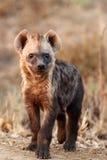 De bevlekte hyena, jonge baby Stock Afbeelding