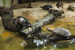 De bevlekte zwarte de vijverschildpad van de Vijverschildpad, Indische bevlekte schildpad is zoetwaterschildpad endemisch aan Zui stock fotografie