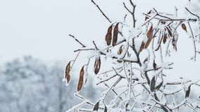 De bevroren aard van de de takwinter van de esdoornboom stock video