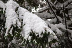 De bevroren Boom van de Pijnboom Royalty-vrije Stock Foto's
