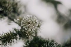 De bevroren dichte omhooggaande tak van de pijnboomboom royalty-vrije stock foto