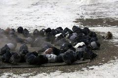 De bevroren duiven fluffed omhoog veren Zonnebaad in het warmteschild De stoom komt Vorst minus 25 graden van Celsius Royalty-vrije Stock Fotografie