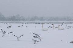 De bevroren rivier van Donau met zwanen en zeemeeuwen het eten Stock Foto